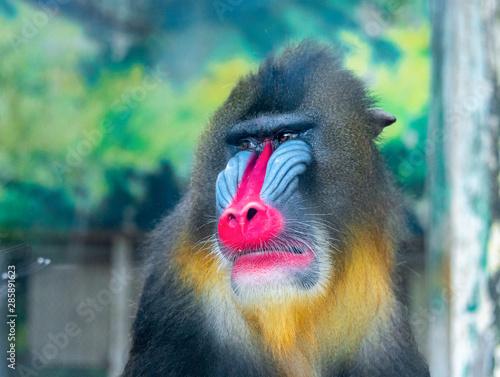 Fotografia An adult mandrill in a wildlife park