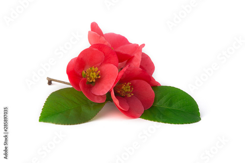 Slika na platnu Fleurs de cognassier du Japon