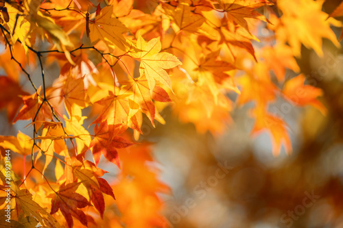 Fototapeta Beautiful maple leaves in autumn sunny day in foreground and blurry background in Kyushu, Japan
