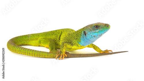 Fotografie, Obraz Green lizard isolated on white background