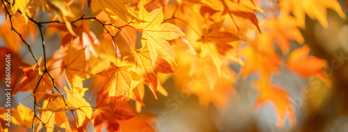 Obraz na plátně Beautiful maple leaves in autumn sunny day in foreground and blurry background in Kyushu, Japan