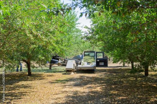 Slika na platnu almond tree shaker shaking trees, leaves falling from trees being shaken, tree s