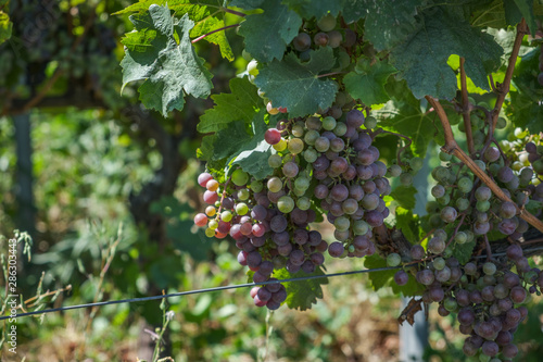 Fotografering uvas de vino en viñedo de saint emilion en francia