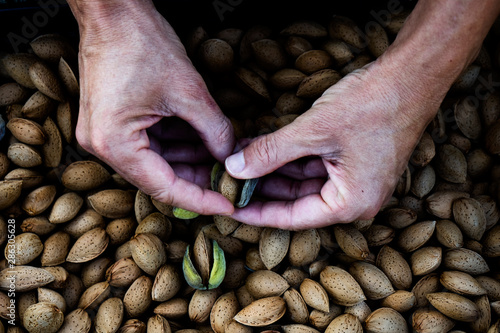 Stampa su Tela harvesting almonds in an orchard in Spain
