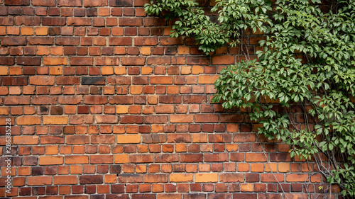 Stampa su Tela Climbing plant, green ivy or vine plant growing on antique brick wall of abandoned house