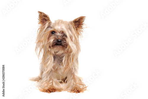 Canvas Print Hairy yorkshire terrier puppy before grooming procedures