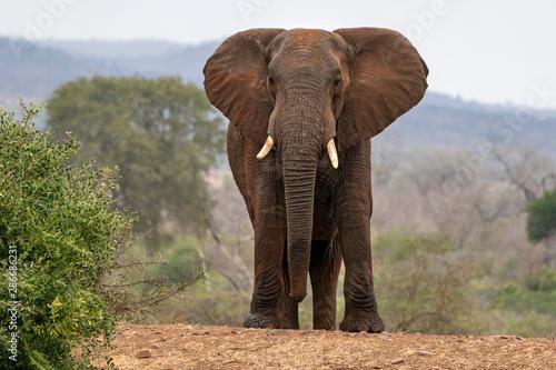 Wallpaper Mural big elephant in kruger park south africa