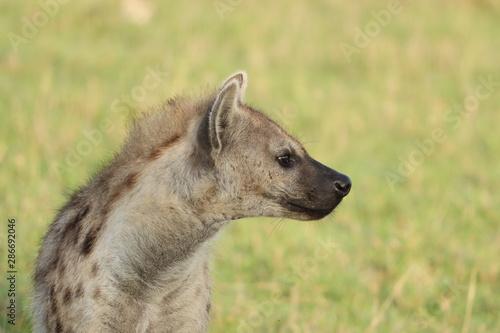 Spotted hyena face closeup, Masai Mara National Park, Kenya. Fototapet