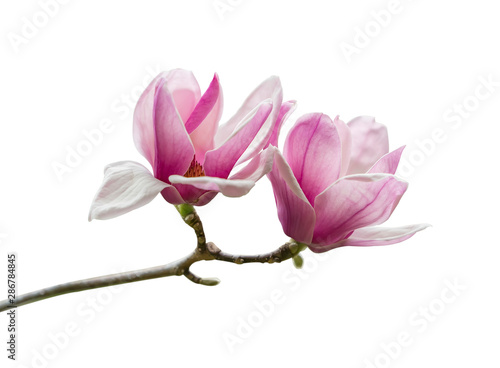 Obraz na plátně Pink magnolia flowers isolated on white background