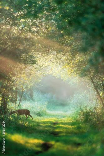 Billede på lærred Roe deer doe crossing misty forest trail at dawn.