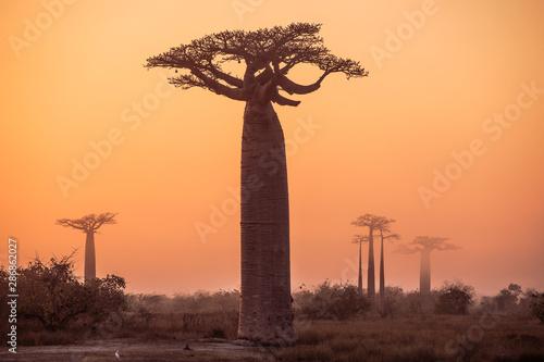 African landscape with a big baobab tree Fototapeta