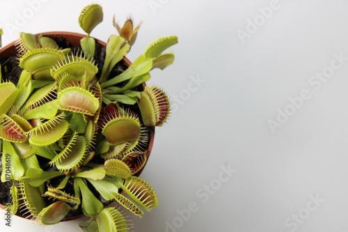 Stampa su Tela Venus flytrap on the white desk
