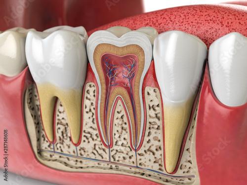Slika na platnu Human teeth anatomy. Cross section of  human tooth.