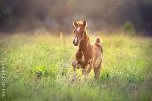 Foto Beautiful red foal run and fun on spring green sunrise field