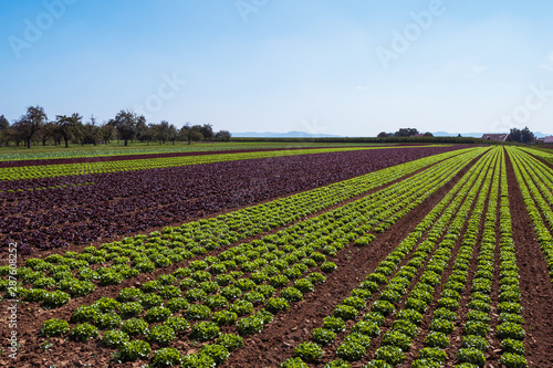 Carta da parati cultivated field of green lettuce on the sandy soil in summer