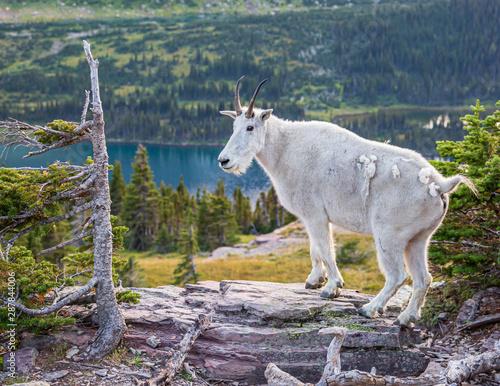 Fotografie, Obraz Mountain goat in Glacier National park