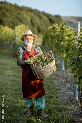 Photo Senior well-dressed winemaker walking with basket full of freshly picked up wine