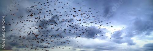 Tableau sur Toile large group of flying bats, mega bats in the sky