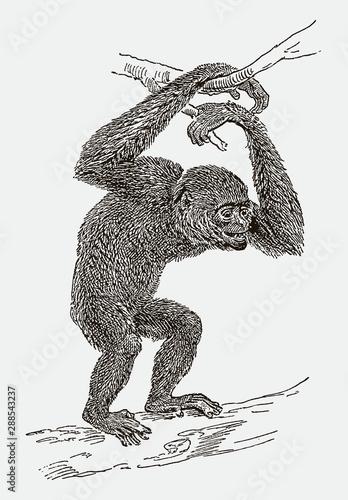 Valokuvatapetti Endangered siamang (symphalangus syndactylus) climbing on a branch