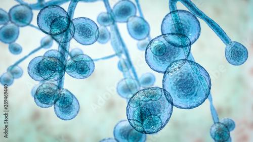 Fotografia Candida auris fungi, emerging multidrug resistant fungus, 3D illustration