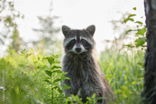 Fototapeta Raccoon