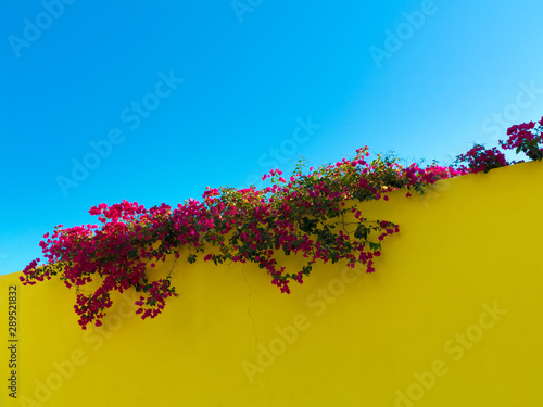 Fotomural mediterranean color contrast with blooming purple bougainvillea on top of a yell