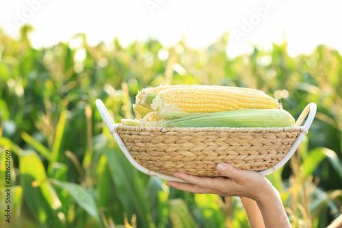 Fotografia Woman with basket of corn cobs in field