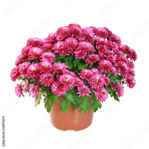 Pot de chrysanthème rouge Fototapete