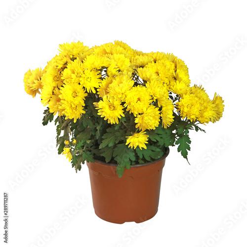 Obraz na płótnie Pot de chrysanthème jaune