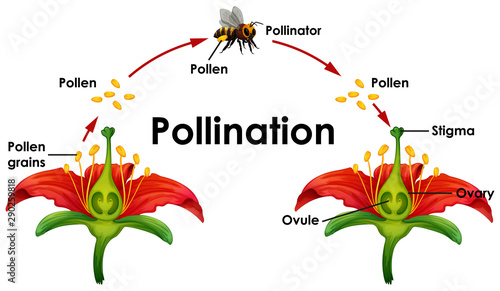 Fotografie, Obraz Diagram showing pollination with flower and bee