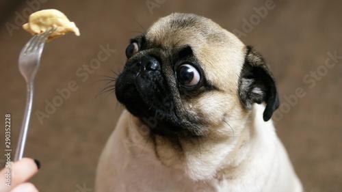 Zabawny portret zaskoczonego i głodnego mopsa, dziewczyna dokucza psu jedzeniem, hipnotyzuje ruchome jedzenie przed pyskiem, mops chce jeść