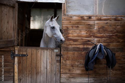 Fototapeta portrait of a white horse