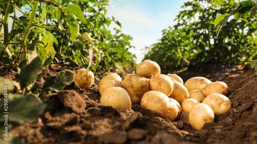 Fotografia Pile of ripe potatoes on ground in field
