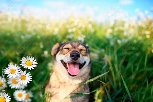 portrait of cute dog with pretty open mouth and tongue sitting on summer Sunny warmth blooming meadow with daisies