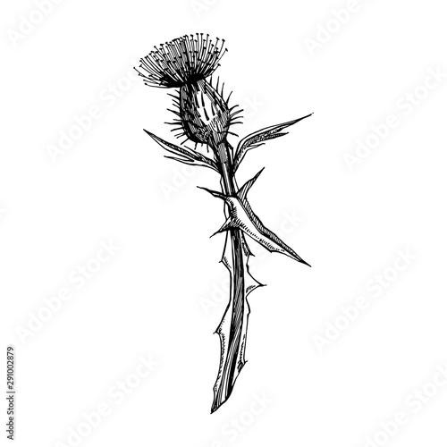 Fotografie, Obraz Thistle or daisy flower