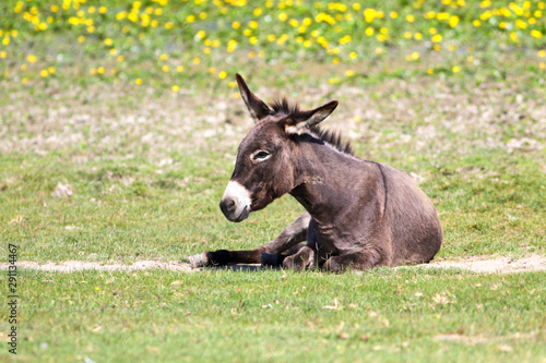 Donkey is resting on the floral pasture Fototapet