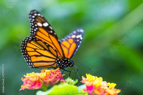 Stampa su Tela The monarch butterfly or simply monarch (Danaus plexippus) on the flower garden