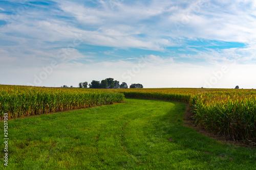Fototapeta Through the cornfield