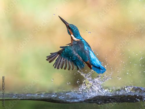 Vászonkép Common European Kingfisher emerging abstract