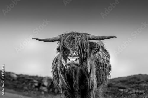 Photo Highland Cow