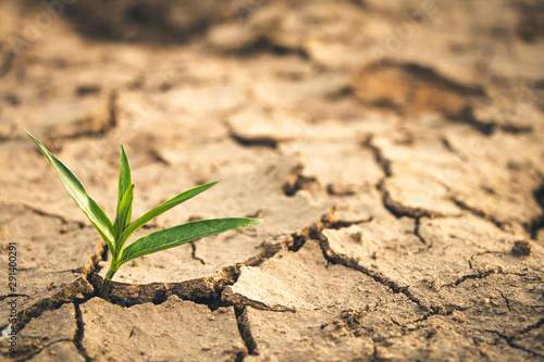 Growth of trees in drought, Living with tree drought. Fototapeta