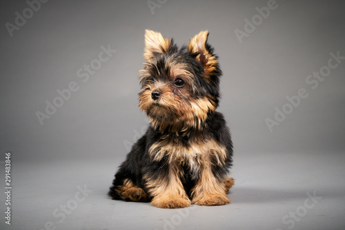 Canvas Print Yorkshire Terrier puppies