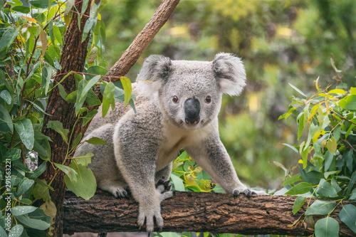 Canvas Print Koala on eucalyptus tree outdoor.