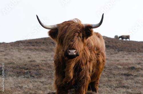 Stampa su Tela Highland Cow