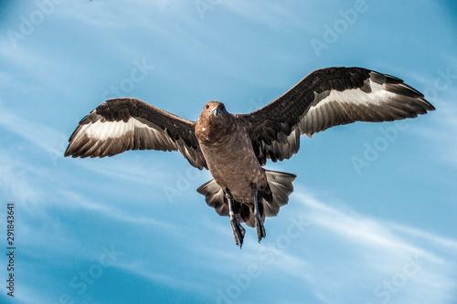 Wallpaper Mural Great Skua in flight on blue sky background