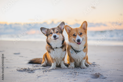 Canvas Print Two welsh corgi pembroke dogs sitting next to each other on the beach at the sea