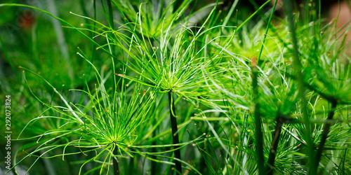 close up of papyrus plant growing in botanical garden Tapéta, Fotótapéta