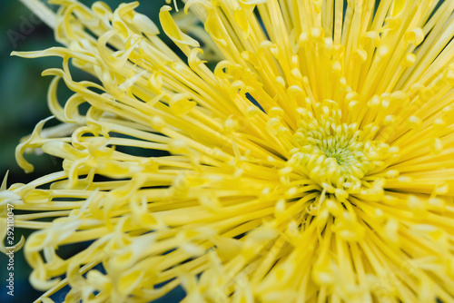 close up on the central of a yellow chrysanthemum flower Fototapete