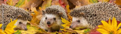 Canvastavla Four-toed Hedgehog (African pygmy hedgehog) - Atelerix albiventris funny autumna