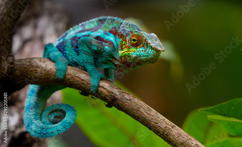 Canvas Print Green chameleon in the  jungle